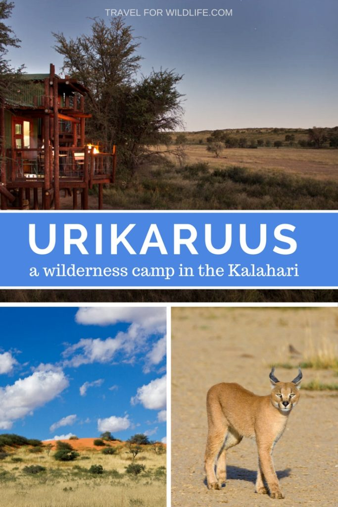 Urikaruus, a wilderness camp in the Kgalagadi Transfontier Camp, South Africa. Stay here for a unique experience in this quirky camp, where the Kalahari animals come visit all day and night.