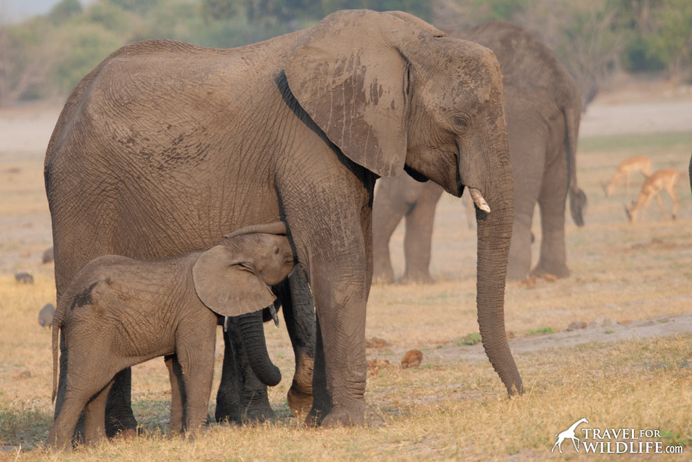 what do elephants eat when they're babies? Mother's milk!
