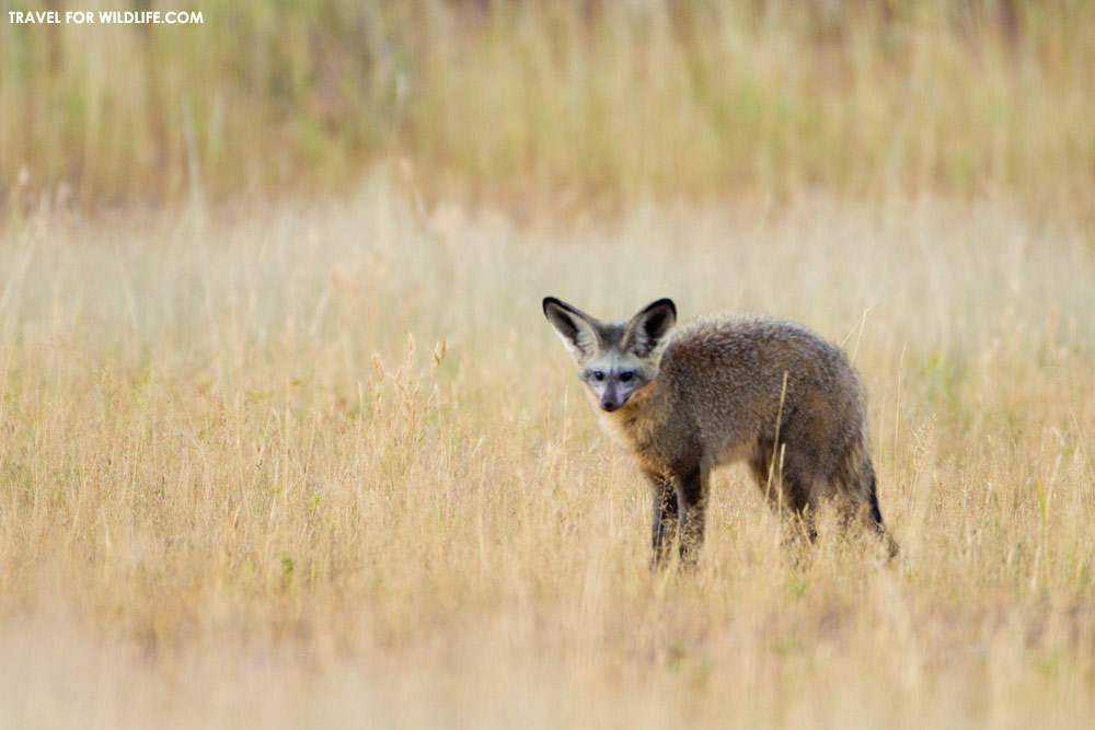 Bat-eared fox hunting, Kgalagadi Transfrontier Park