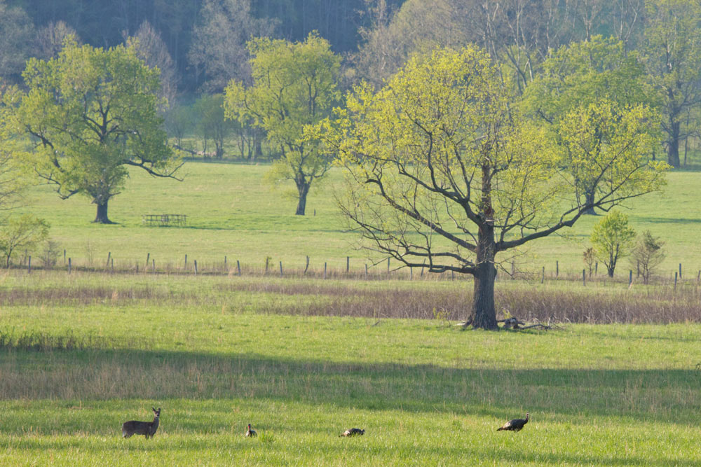 Cades Cove wildlife