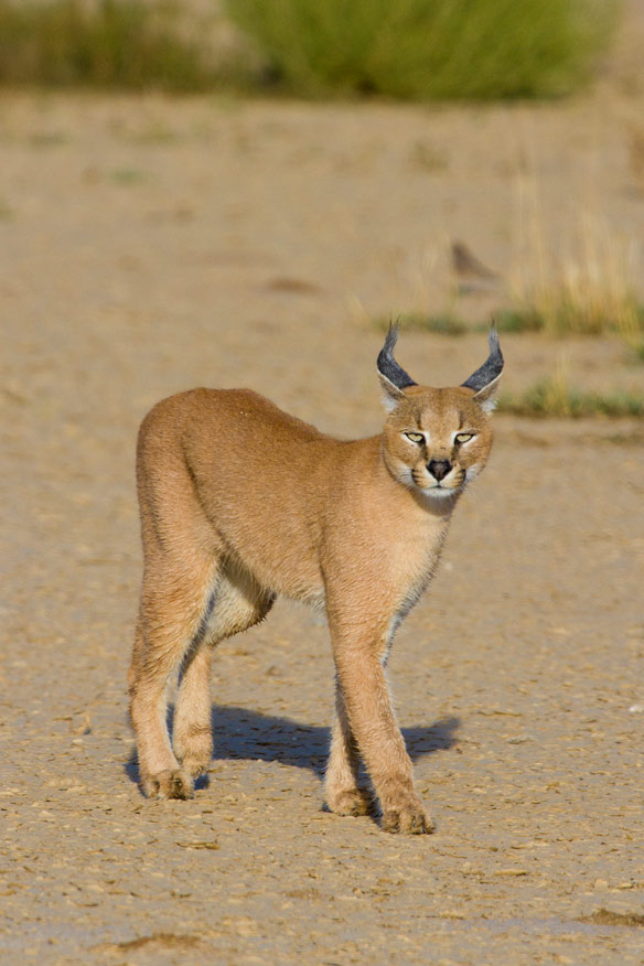 Caracal in the Kalahari