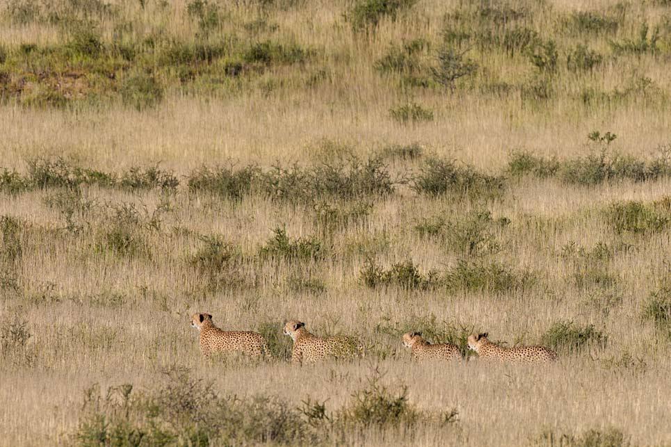 Cheetah coalition walking in the grass