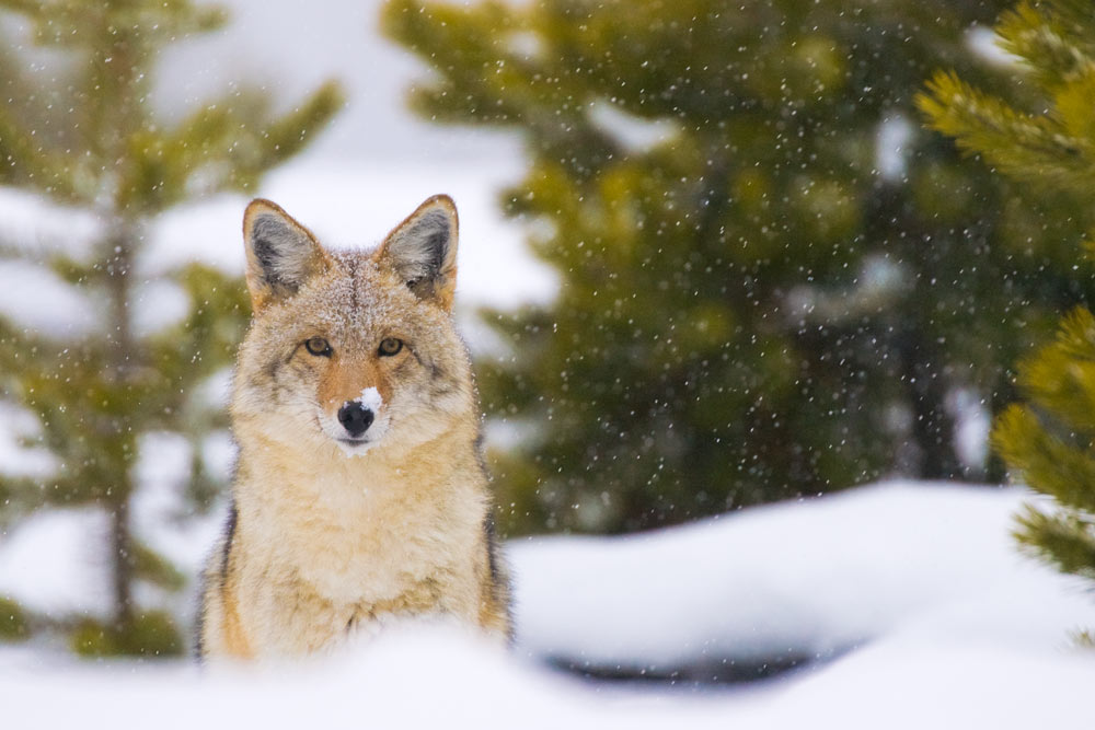 A coyote in the snow in Yellowstone