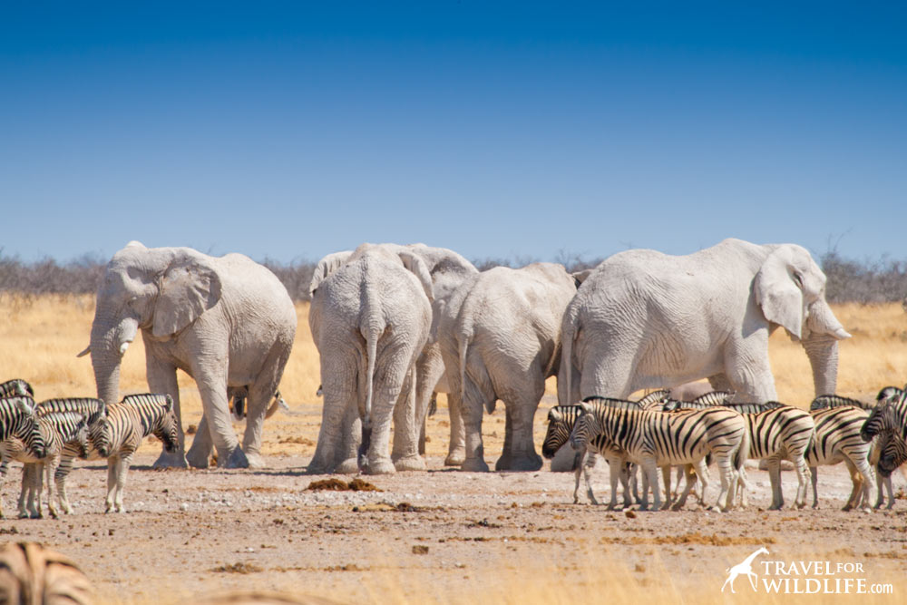 What does elephant eat in Etosha?
