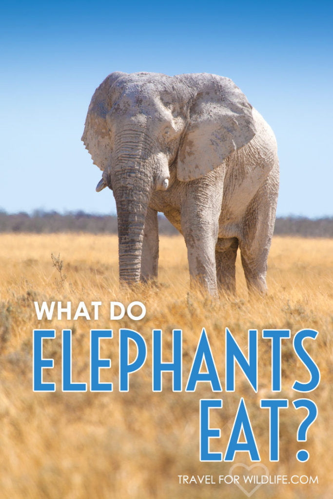 Ever wondered what do elephants eat? Hint: it's not peanuts! Find out what elephants eat in this new installment from Animal Answers.