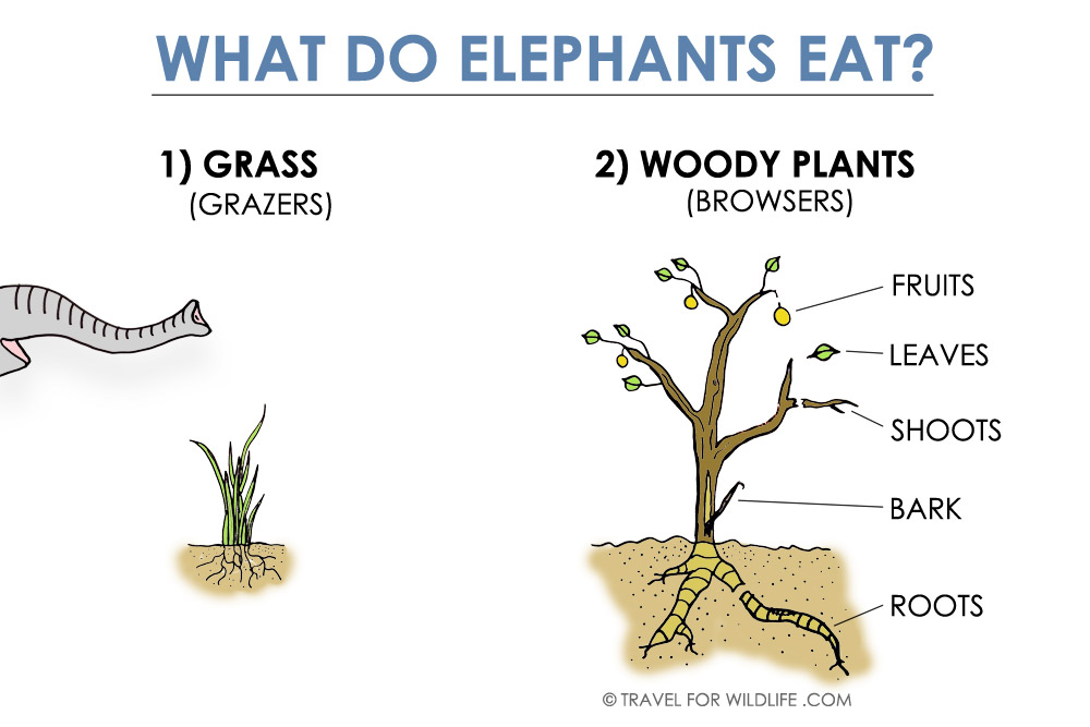 Illustration of what do elephants eat