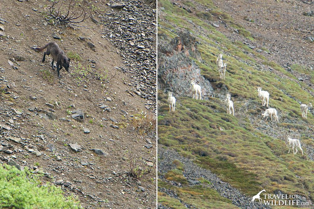 Watching wolves in Denali