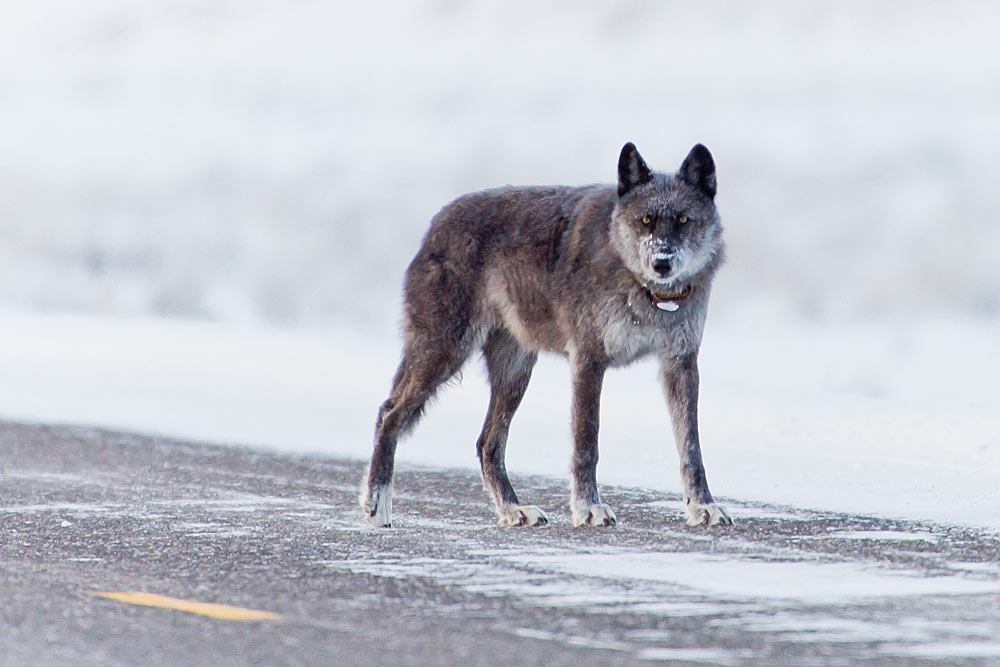 926F alpha female wolf of Lamar Canyon Pack, Yellowstone National Park