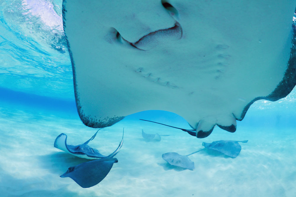 Stingrays are normally solitary and nocturnal, except where they are fed by tourists