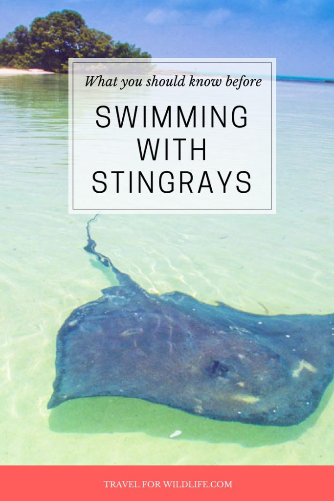 Is swimming with stingrays good for the stingrays? This popular wildlife attraction is offered all over the world, specially in the Cayman Islands, where during Grand Cayman Stingray City tours where stingrays are fed and tourists are encouraged to pet the rays