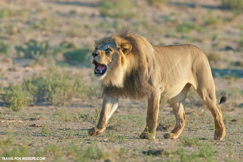 lion walking and roaring in the Kalahari