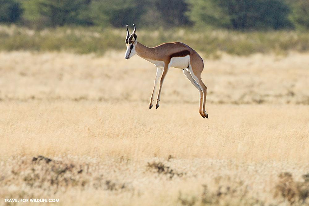 springbok pronking in botswana