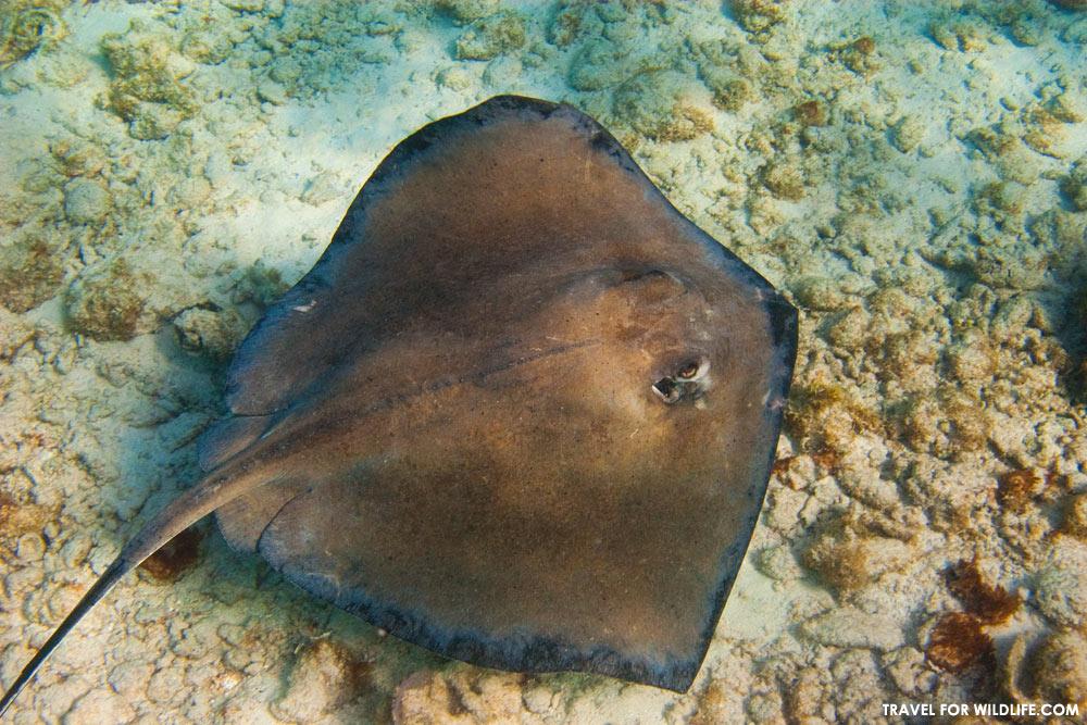 Stingray with bit marks around the edges of its fins