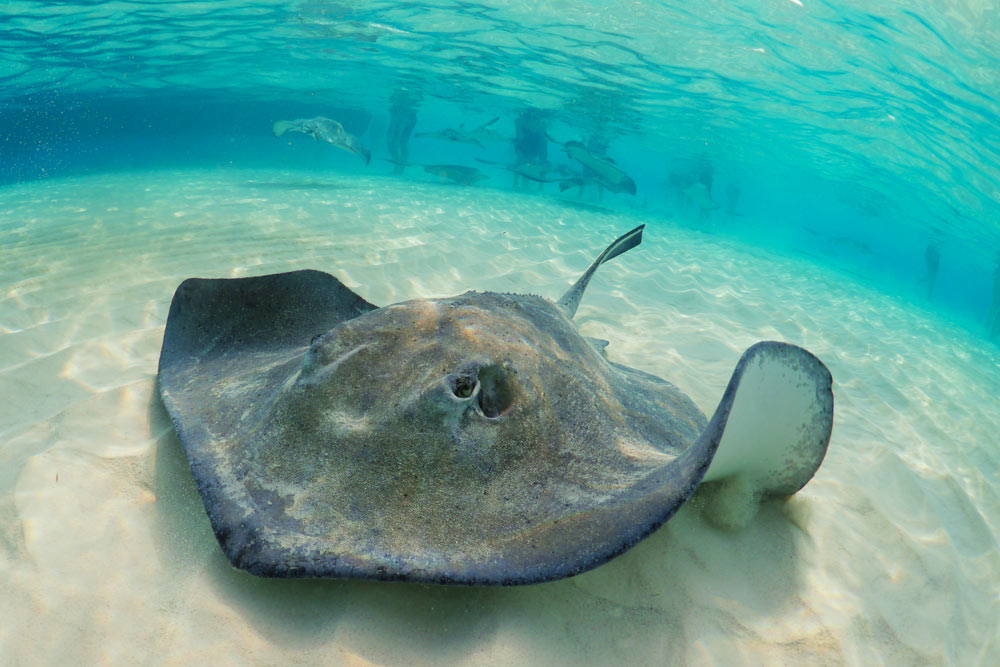 Stingrays feed at the bottom of the ocean