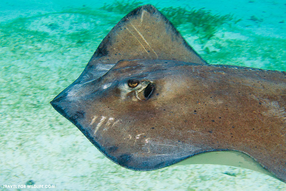 A sting ray covered in wounds and injuries