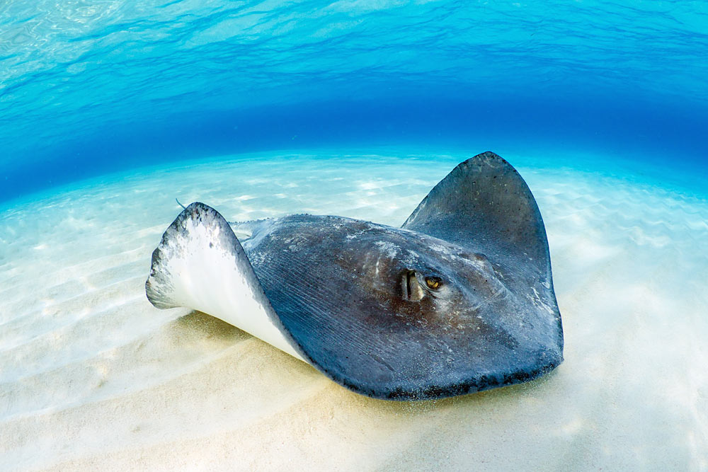 Stingray behavior is changed by feeding them