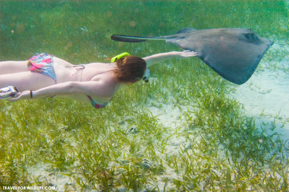 Touching and petting stingrays is encouraged at Grand Cayman Stingray City tours. It shouldn't be!