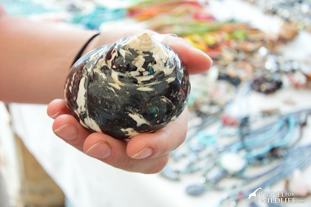 Concha Nacar, seashell found in Nicaragua