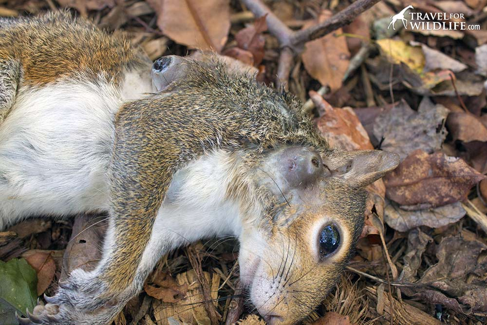 cuterebra emasculator warbles on a gray squirrel