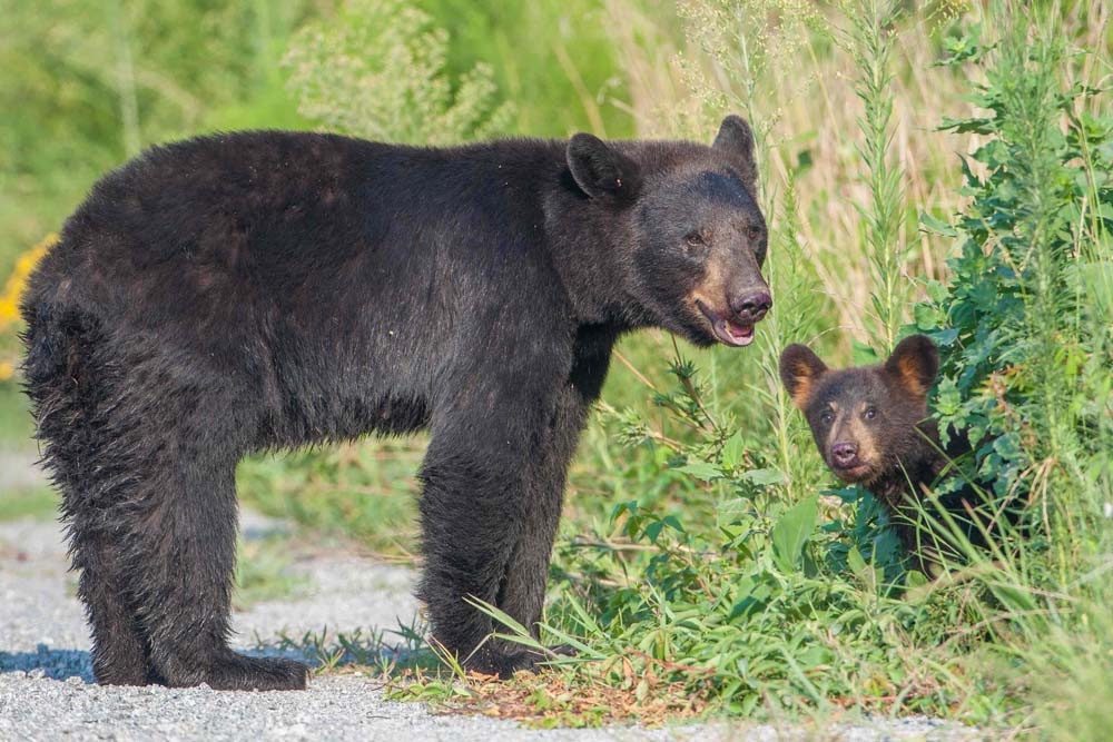 Black Bear and cub, HD Nature Wallpapers for iPhone