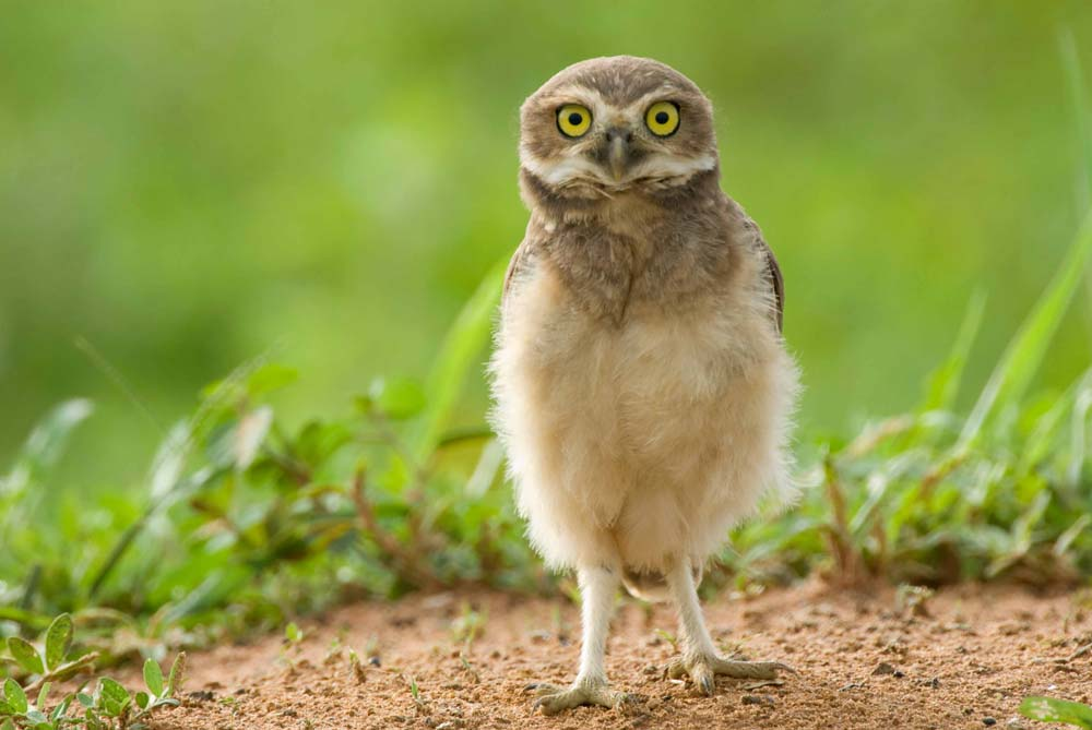 Cool backgrounds for desktop: baby burrowing owl, Brazil.