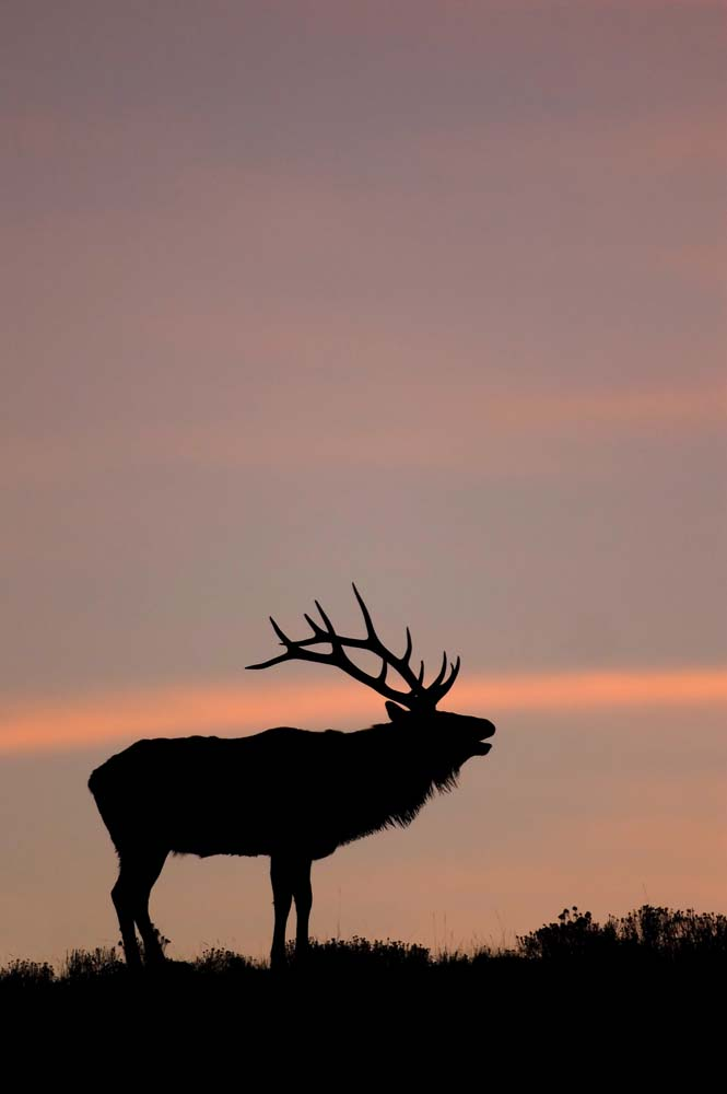 hd nature wallpapers for iPhone, elk bugling in Yellowstone at sunrise.