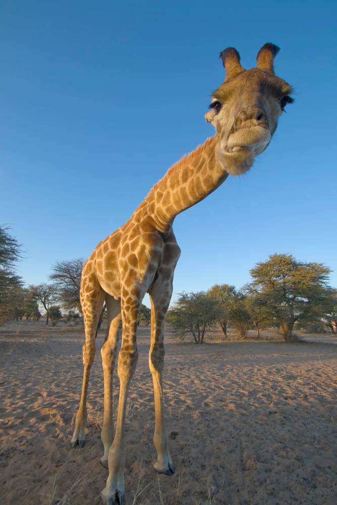 Cool Animals Wallpaper for iPhone, funny Giraffe in the Kalahari