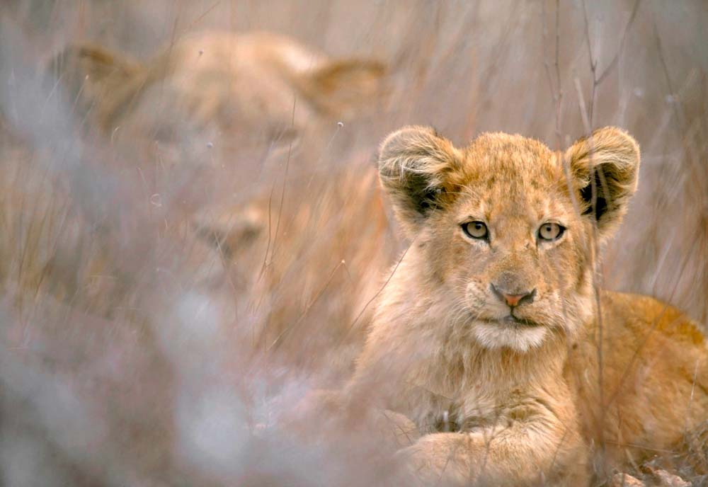 Cool Backgrounds for tablets, Lion Cub with Mother in Kruger