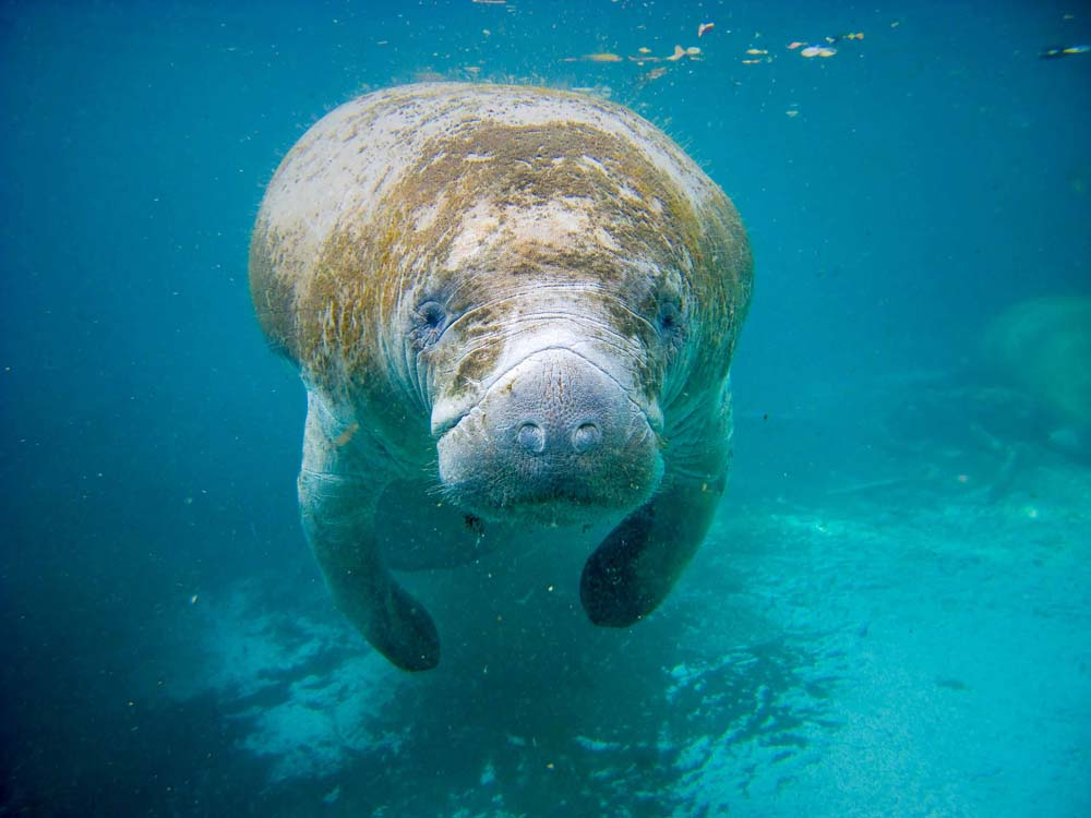 cool wallpapers of manatees! and free apple wallpapers.