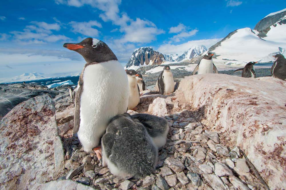 Cool Backgrounds for desktop. Penguin with two chicks in Antarctica