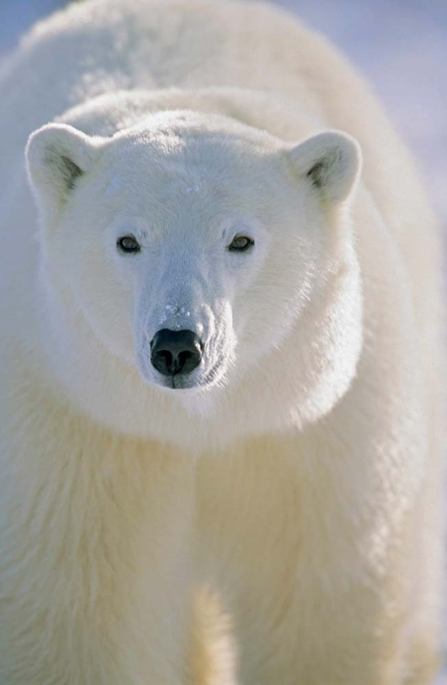 HD animals wallpapers for iPhone, Polar Bear in Manitoba.