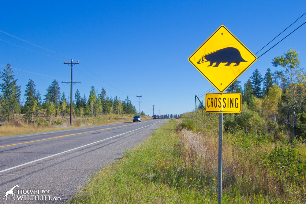 Animal crossing signs: Badger crossing sign