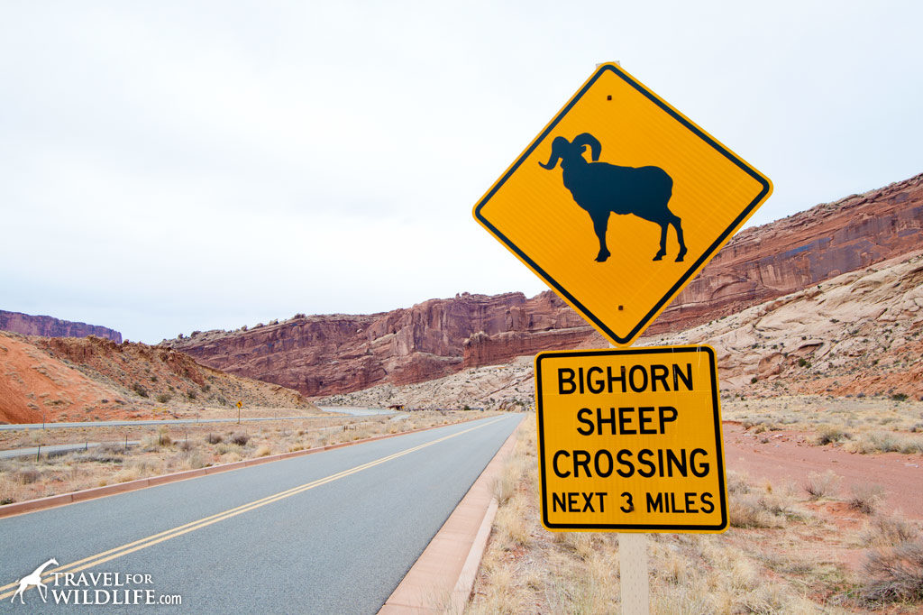 Animal crossing signs: Bighorn crossing sign