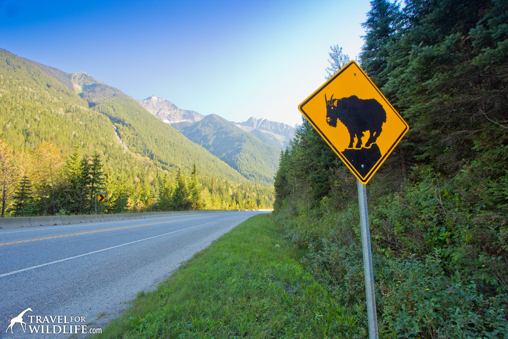 Animal crossing signs: mountain goat crossing sign