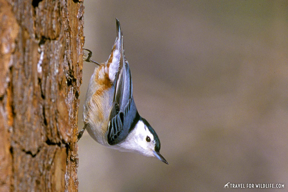 animals beginning with n: nuthatch