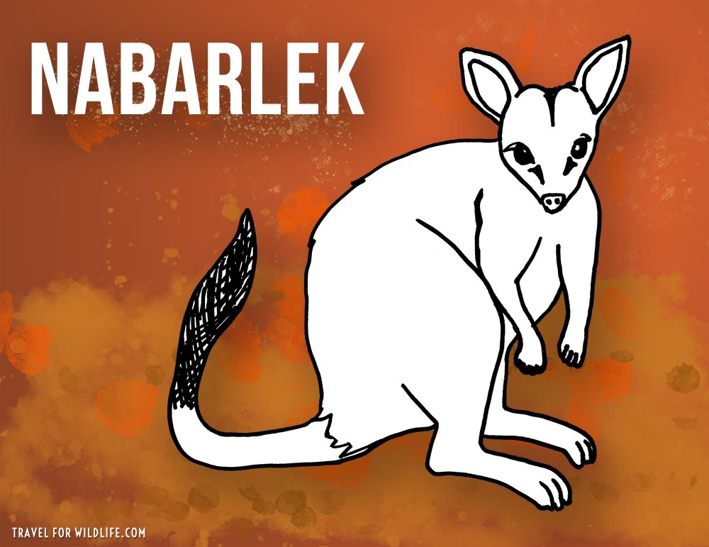 Animals that start with n - Nabarlek illustration