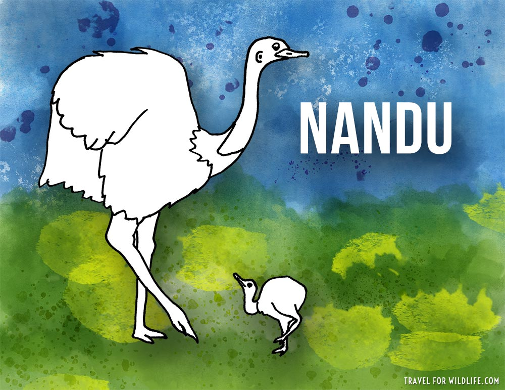 Animals that start with n - Nandu illustration