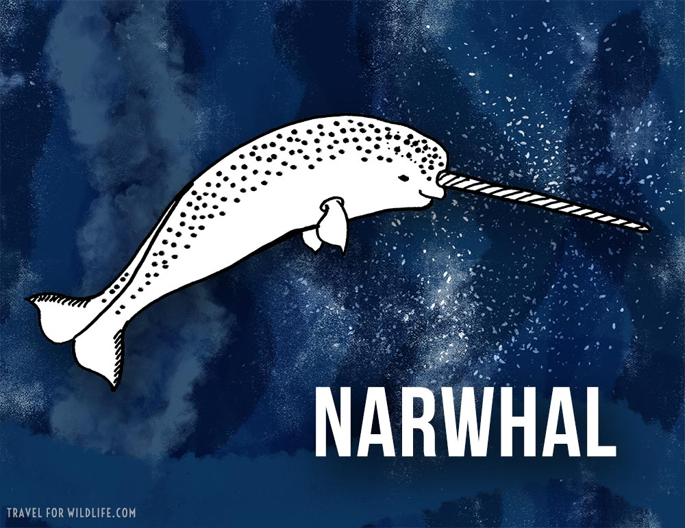 Animals that start with n - Narwhal illustration