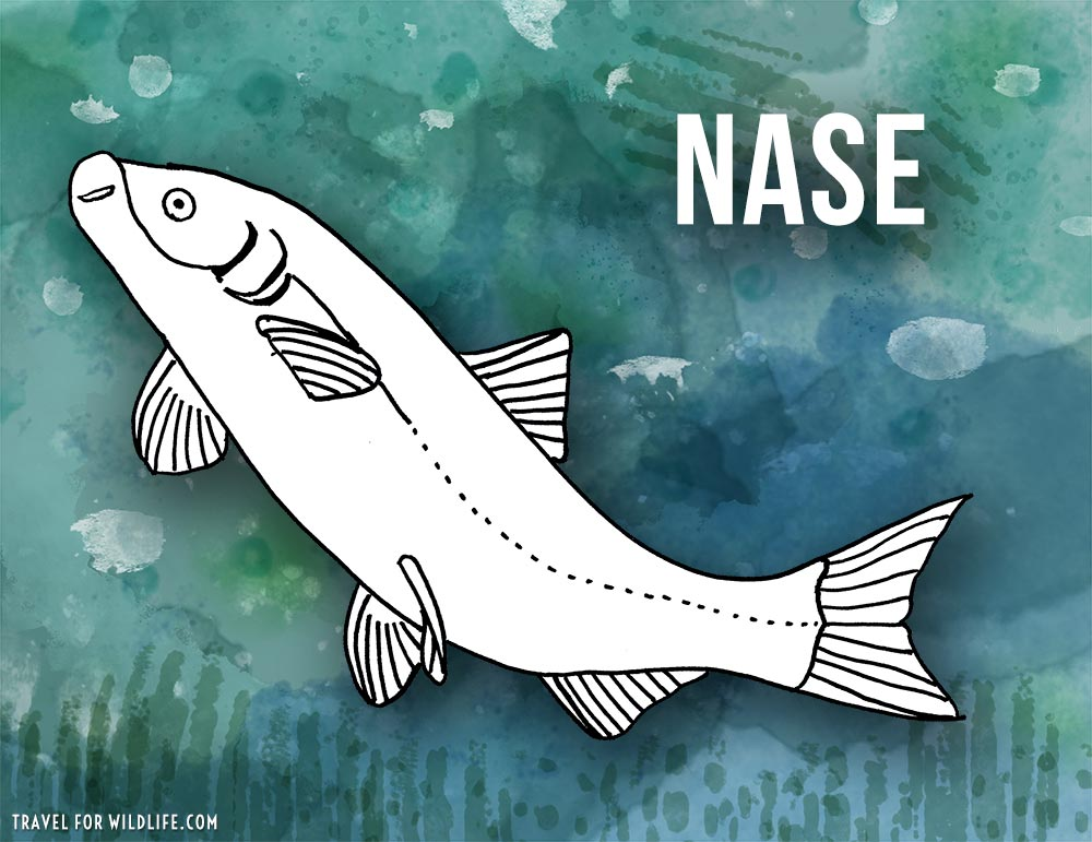 Animals that start with n - Nase fish illustration