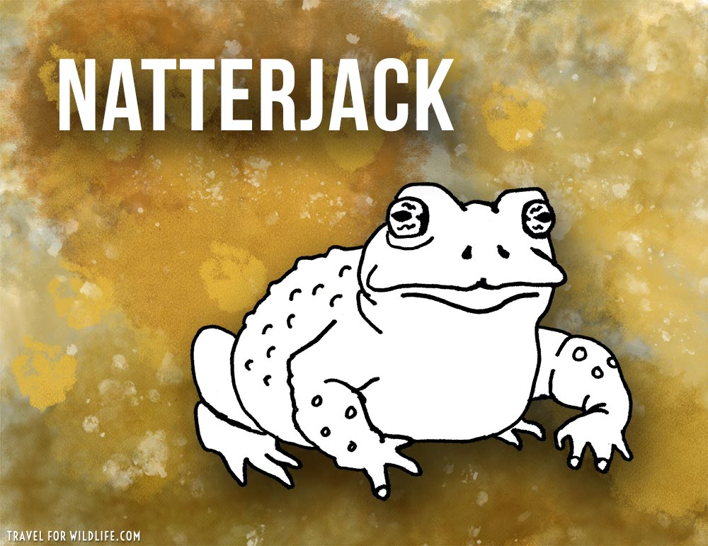 Animals that start with n - Natterjack Toad illustration