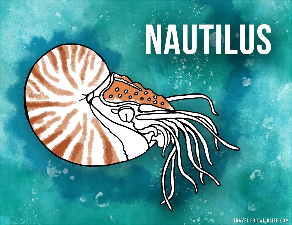 Animals that start with n - Nautilus illustration