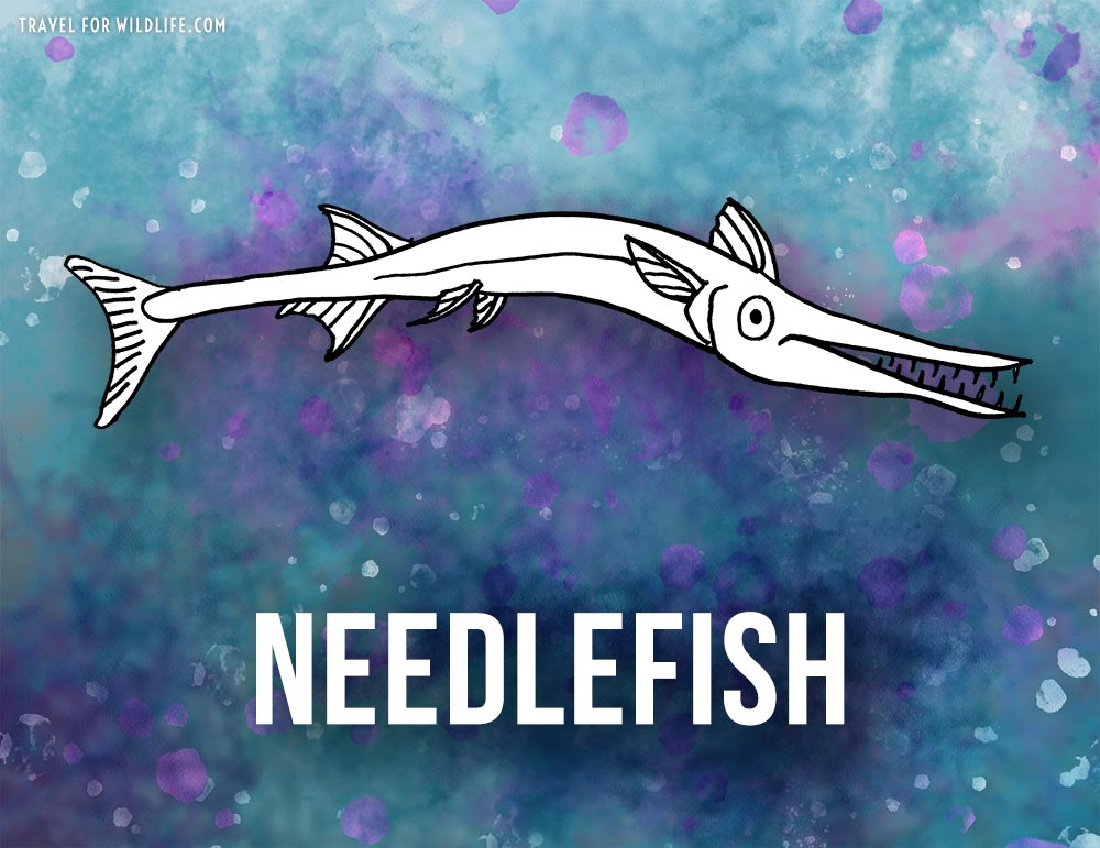 Animals that start with n - Needlefish illustration