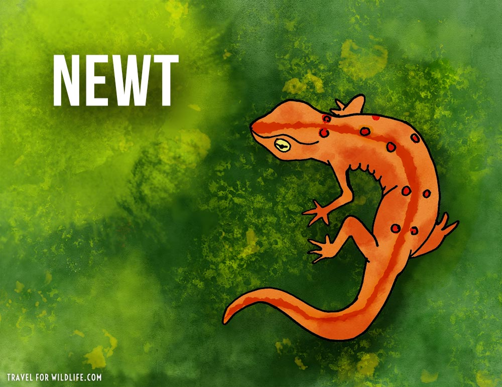 Animals that start with n - Newt illustration