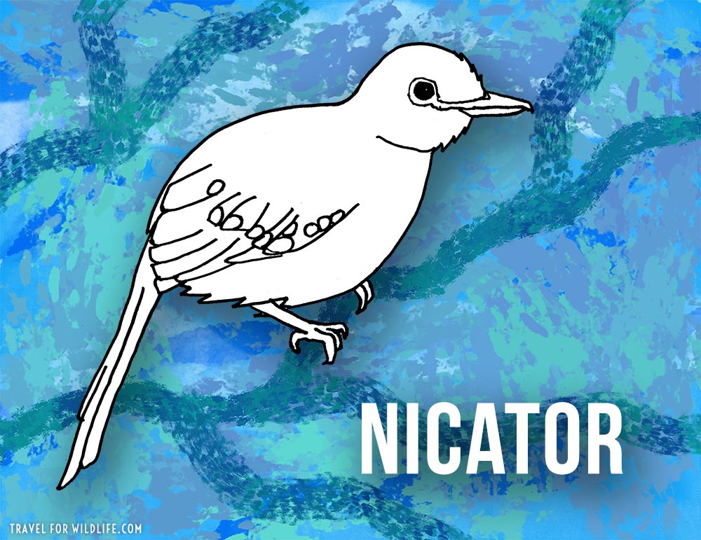 Animals that start with n - Nicator illustration