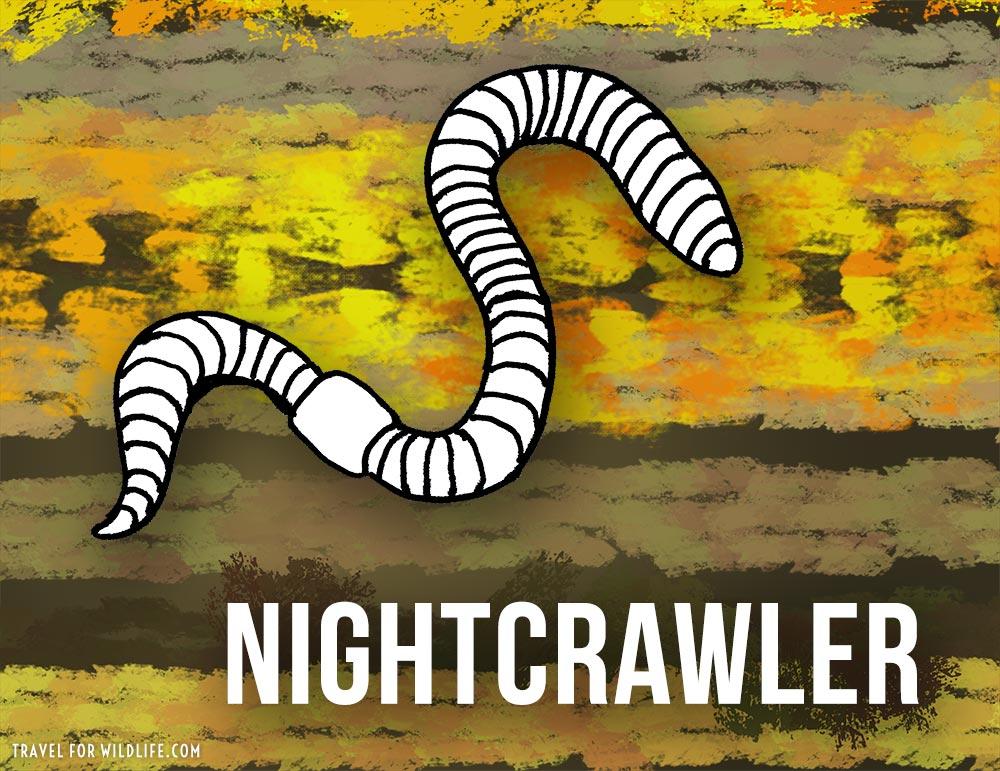Animals that start with n - Nightcrawler illustration