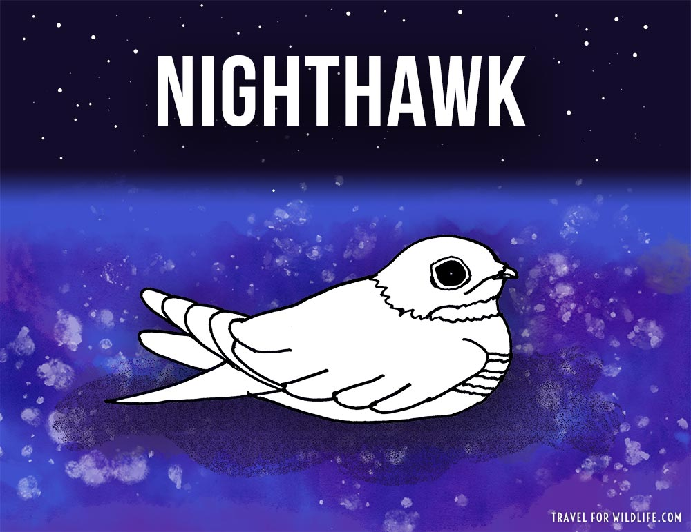 Animals that start with n - Nighthawk illustration