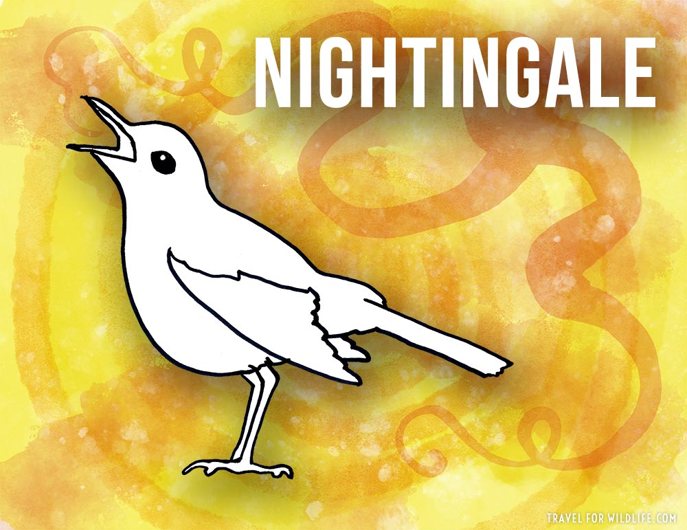 Animals that start with n - Nightingale illustration