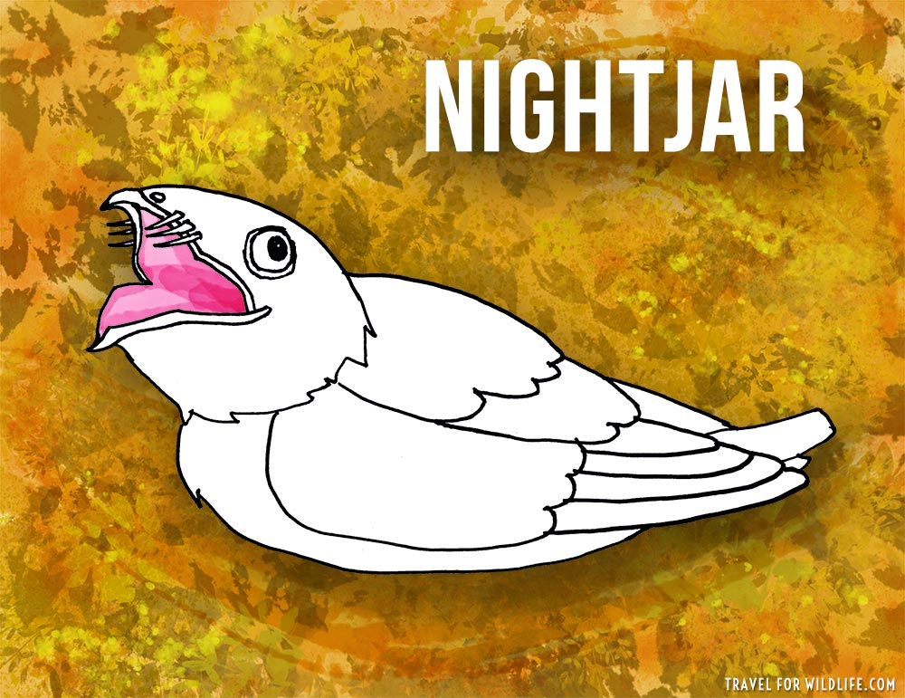 Animals that start with n - Nightjar illustration
