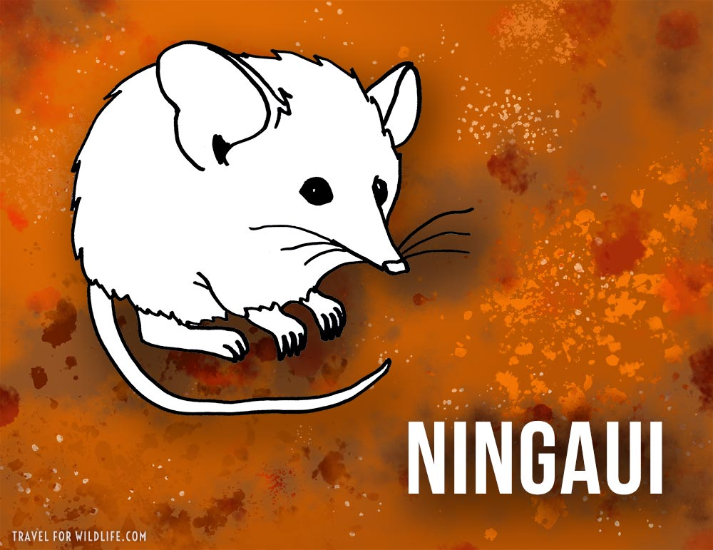 Animals that start with n - Ningaui illustration