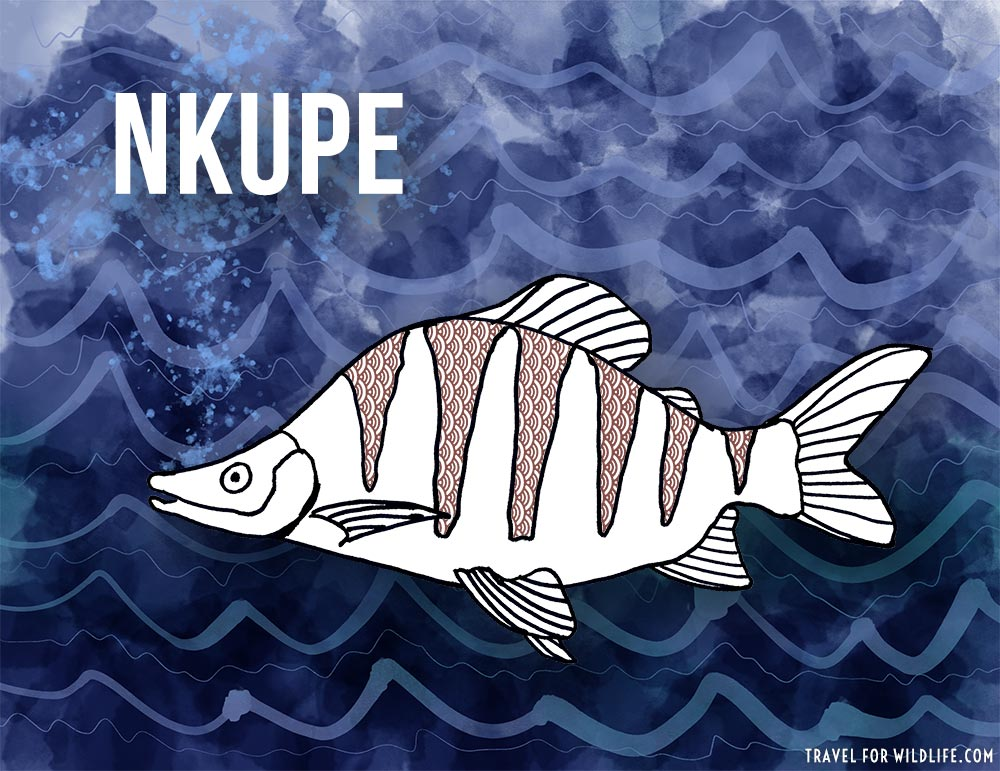 Animals that start with n - Nkupe fish illustration